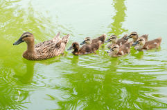 Mallard duck. And baby ducklings swimming in a pond Royalty Free Stock Image