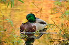 The mallard duck. The beautiful mallard duck sitting in the bushes on the pond, the water in the reflection of colorful autumn trees Royalty Free Stock Photo