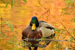 Mallard duck. The beautiful mallard duck sitting in the bushes on the pond, the water in the reflection of colorful autumn trees Royalty Free Stock Photography