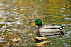 Mallard duck. Swims on the lake Royalty Free Stock Image