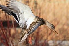 Mallard Duck. A Mallard duck preparing to land Royalty Free Stock Images