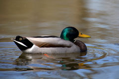 Mallard duck. Swimming happily in the lake Royalty Free Stock Image