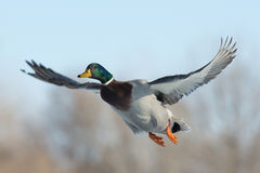 Mallard Duck. Flying towards you Stock Image