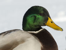 Mallard Duck. Drake Mallard showing it's green head shining in the sunlight Royalty Free Stock Image