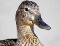 Mallard Duck. Close up of a Mallard Duck female Royalty Free Stock Photos