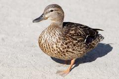 Mallard Duck. A Mallard Duck walking along a sandy beach Royalty Free Stock Images