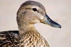 Mallard Duck. Close up of a Mallard Duck female Stock Images