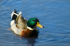 Mallard Duck. Swimming in Blue Water Stock Image