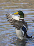 Mallard duck. A mallard duck (anas platyrhynchos) with his wings open on an pond Stock Images