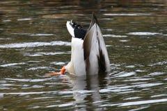 Mallard duck. Male mallard duck diving in pind Stock Image