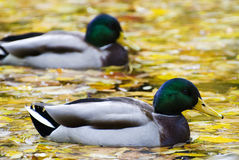 Mallard duck. Autumn pound filled with colored leaves royalty free stock photos