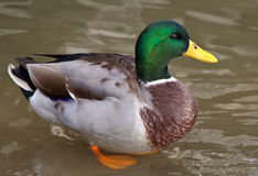 Free Mallard Duck Royalty Free Stock Photography - 46000127