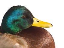 Mallard Duck. Male mallard duck (Anas platyrhynchos) on white Royalty Free Stock Photo