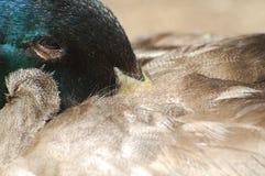 Mallard duck. Portrait of male mallard duck resting head under feathers on back Royalty Free Stock Image