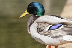 Free Mallard Duck Royalty Free Stock Photos - 53523278