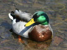 Mallard Duck. Swimming in a pond Stock Photos