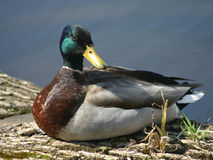 Mallard Duck. Sitting on a log Royalty Free Stock Image