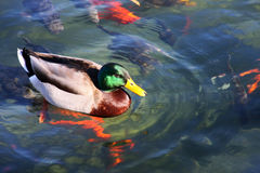 Mallard Duck. Swimming in a pond with gold fish Royalty Free Stock Photos