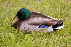 Mallard duck. A resting male mallard Royalty Free Stock Photography