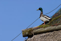 Mallard duck. On a thatched roof Royalty Free Stock Image