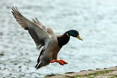 Mallard Duck. A male Mallard Duck coming into land Royalty Free Stock Image
