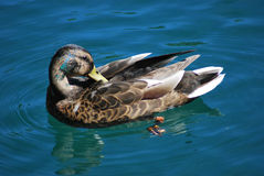 Mallard duck. In the lake Royalty Free Stock Photography