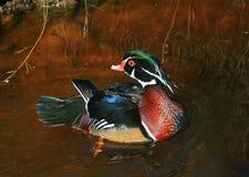 Mallard duck Aix galericulata Royalty Free Stock Image
