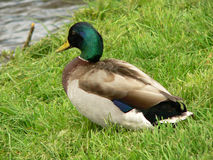 Mallard duck. Anas plathyrhynchos. A male of mallard duck staging across an irish river Stock Photo