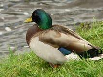 Mallard duck. Anas plathyrhynchos. A male of mallard duck staging across an irish river Royalty Free Stock Image