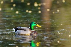 Mallard Duck Anas platyrhynchos portrait. In early morning on a pond royalty free stock images