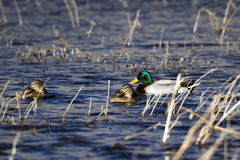 Mallard Duck, Anas platyrhynchos Royalty Free Stock Photos
