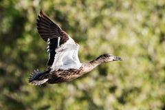 Mallard, Duck, Anas platyrhynchos. Birds - Mallard, Duck, Anas platyrhynchos Stock Photo