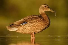 Mallard duck - Anas platyrhynchos Royalty Free Stock Photo