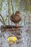 Mallard duck anas platyrhynchos in contaminated water with plastic bottles royalty free stock photography
