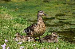 Mallard duck (Anas platyrhynchos) and ducklings. Protective female Mallard duck (Anas platyrhynchos) and three ducklings by the lake Royalty Free Stock Image