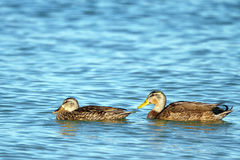 Mallard Duck, Anas platyrhynchos. Female Mallard swims in front of an immature male, or drake Mallard Stock Photos