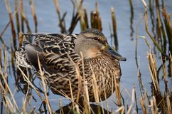 Mallard duck (Anas platyrhynchos) - female. Mallard duck (Anas platyrhynchos). Wild duck in its natural habitat Royalty Free Stock Images