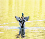 Mallard duck - Anas platyrhynchos - fly out of yellow water, bir Stock Photos