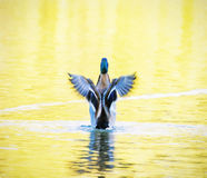 Mallard duck - Anas platyrhynchos - fly out of yellow water Royalty Free Stock Photos