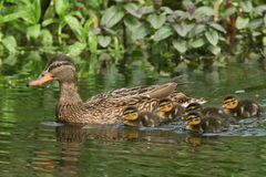 A Mallard Duck Anas platyrhynchos and her ducklings. A pretty Mallard Duck Anas platyrhynchos and her ducklings swimming in a stream Royalty Free Stock Photos