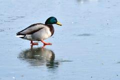 Mallard Duck & x28;Anas platyrhynchos& x29; on Ice. Male Mallard Duck & x28;Anas platyrhynchos& x29; on Ice Royalty Free Stock Photography