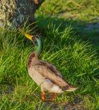 A Mallard Duck Anas platyrhynchos, at John S. Taylor Park in Largo, Florida. A Mallard Duck Anas platyrhynchos, in Largo, Florida Stock Photos