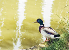 Mallard duck - Anas platyrhynchos - on the lake shore, beauty in. One Mallard duck - Anas platyrhynchos - on the lake shore. Bird scene. Beauty in nature. Animal Royalty Free Stock Photos