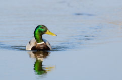 Mallard duck (Anas platyrhynchos). Male Mallard duck (Anas platyrhynchos) swimming Stock Photo
