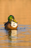 Mallard duck (Anas platyrhynchos). A male Mallard duck (Anas platyrhynchos) swimming in the water during sunset Royalty Free Stock Photos