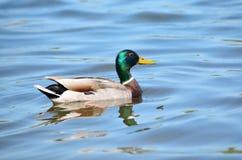 Mallard duck (Anas platyrhynchos) - male. Mallard duck (Anas platyrhynchos). Wild duck in its natural habitat Stock Photo