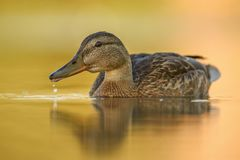Mallard duck - Anas platyrhynchos Stock Photography