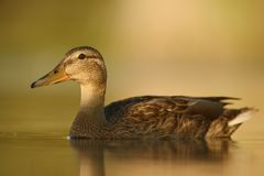 Mallard duck - Anas platyrhynchos Stock Photo