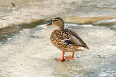 Mallard Duck. Royalty Free Stock Photo
