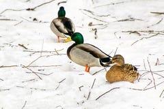 Mallard Duck. Stock Photography